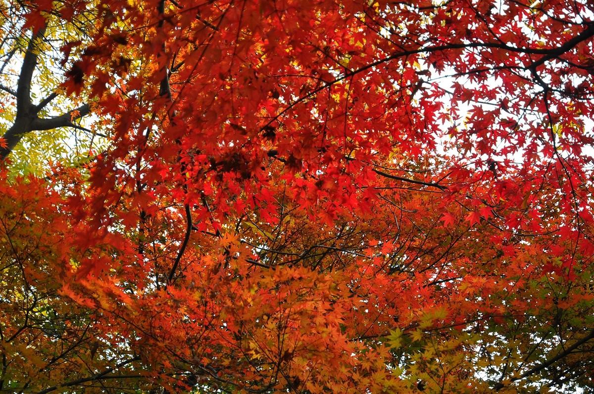 南京:红枫漫遍栖霞山